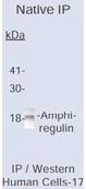 NB600-543 - Amphiregulin