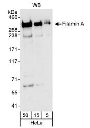 NB100-58812 - Filamin-A
