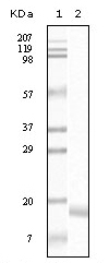 NB110-60492 - Alpha-Synuclein / SNCA