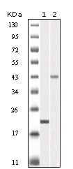NB110-60525 - Aurora kinase B