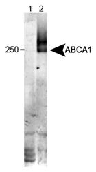 NB100-2068 - ABCA1