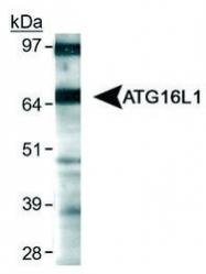 NB110-60928 - APG16L / ATG16L1