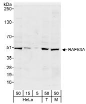 NB100-61628 - ACTL6A / BAF53