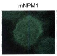 NB110-61646 - Nucleophosmin