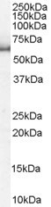 NB100-1370 - KPNA1 / Importin alpha-1