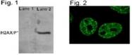NB100-74435 - Histone H2A.x