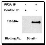 NB110-74571 - Striatin / STRN