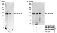 NB100-74609 - CAF-1 subunit A