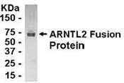 NB100-75238 - ARNTL2 / BMAL2