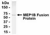 NB100-75322 - Meprin A beta