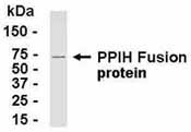 NB100-75346 - Cyclophilin H / PPIH