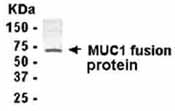 NB100-75564 - CD227 / Mucin-1 / MUC1