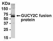 NB100-75627 - GUCY2C / STA receptor