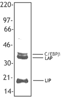 NB100-78291 - CEBPB