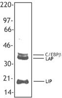 NB100-78293 - CEBPB