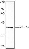 NB100-78297 - EIF2A