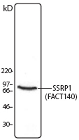 NB100-78323 - SSRP1 / FACT80