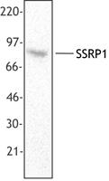 NB100-78326 - SSRP1 / FACT80