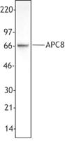 NB100-78338 - CDC23 / APC8