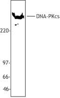 NB100-78350 - DNA-PKcs / PRKDC / XRCC7