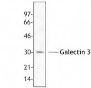 NB100-78354 - Galectin-3