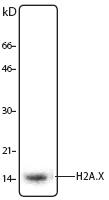 NB100-78355 - Histone H2A.x