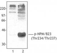 NB100-78399 - Nucleophosmin
