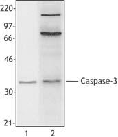 NB100-78425 - Caspase-3