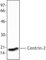 NB100-78483 - Centrin-2