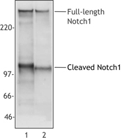 NB100-78486 - NOTCH1