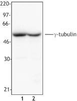 NB100-78488 - TUBG1 / Tubulin gamma 1