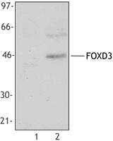 NB100-78525 - FOXD3 / HFH2
