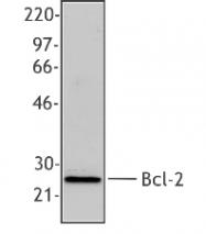 NB100-78543 - Bcl-2