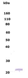 NB110-79873 - Myelin Basic Protein