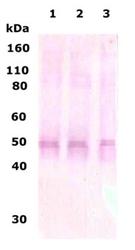 NB110-79877 - Delta-type opioid receptor