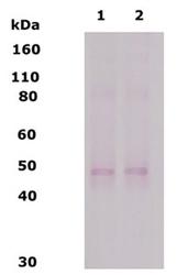 NB110-79879 - Delta-type opioid receptor