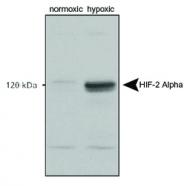 NB100-122B - HIF2A / HIF2 alpha