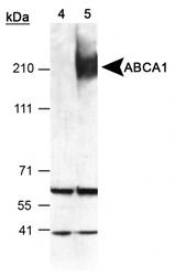 NB400-105H - ABCA1