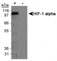 NB100-123L - HIF1A / HIF1 alpha