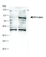 NB100-132B - HIF2A / HIF2 alpha