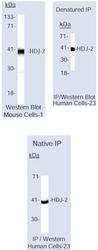 NB600-952 - DNAJA1 / HDJ2