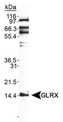 NB110-81753 - Glutaredoxin-1 / GLRX1