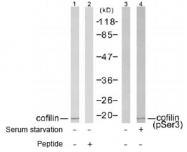 NB100-81865 - Cofilin-1