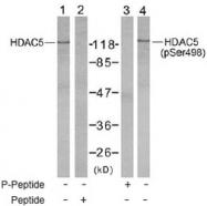 NB100-81953 - HDAC5