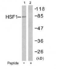 NB100-81966 - Heat shock factor 1 / HSF1