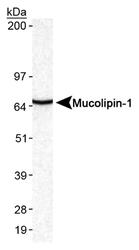 NB110-82375 - Mucolipin-1