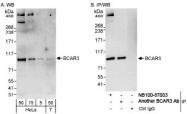 NB100-87003 - BCAR3 / SH2D3B