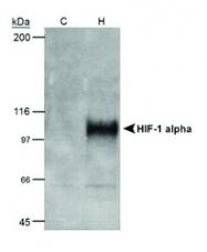 NB100-105H - HIF1A / HIF1 alpha