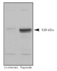 NB100-902HIF2 - HIF2A / HIF2 alpha
