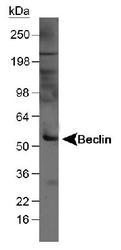NB500-249H - Beclin-1